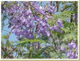 Lila bloemen in deze acasia