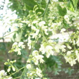 Deze acasia uit Nederland heeft witte bloemen