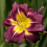 Regal Coronation (Hemerocallis)