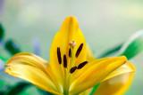 """""""Gul"""" (Lilium hollandicum)"""