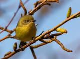 Yellow Thornbill juvenile (?)