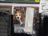 WHILE WORKING ON THE WIRING ON THE 'BIRD, I FOUND A FEW BUGS AND .................A BEAGLE TOO!!