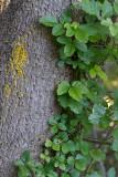 Poison Oak and lichen