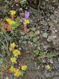 Dudleya, dwarf brodeia, goldback fern