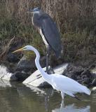 Egrets, Herons