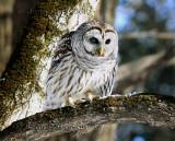 46-58 cm  Chouette Rayée  (Barred Owl ) Strix varia - Merci a Dom et Eric pour cette belle session de photos