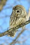 46-58 cm  Chouette Rayée  (Barred Owl ) Strix varia