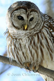 46-58 cm  Chouette Rayée  (Barred Owl ) Strix varia 1 of 2