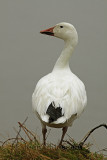 65 - 95 cm Oie des Neiges ( Snow Goose ) Chen caerulescens
