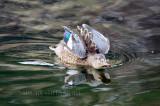 Canard souchet - femelle / Nothern Shoveler