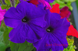 Petunia /  Grandiflora