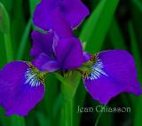 Iris pseudacorus  (Jardin