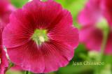 Rose Trèmière / Sidalcea Malviflora