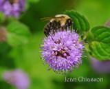 Bourdon / Bumble Bee
