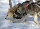 Chien de traineau  Dogsledding