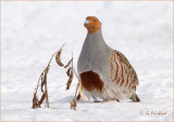 Gray Partridge aka Hungarian Partridge