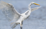 The Great White Northern Egret