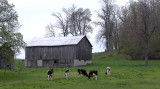 grey barn with cows...