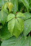 wet  leaves...