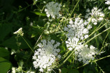 queen anne  lace...