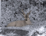 Infrared Deer - Camosun College