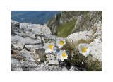 Pulsatilla alpina Delarbre