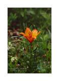 Lilium bulbiferum subs. croceum