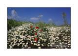 Chrysanthemum leucanthemum and Papaver rhoeas