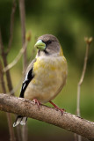 Evening Grosbeak - female