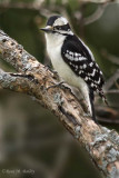 Downy Woodpecker (I think!)