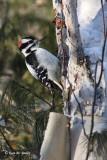 Woodpecker - 2
