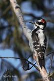 Woodpecker - 1