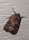 BristlyCutwormMoth1.jpg