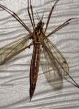 Cranefly15.jpg