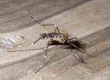 Mosquitoe4.jpg