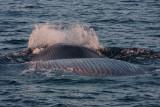 Blue Whale Upside Down