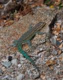 Emerald-tailed Lizard