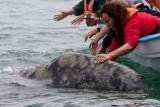 Friendly Gray Whale Calf