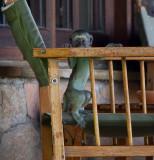 Young Vervet Monkey Says Peek-a-Boo