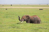 Elephant Wades Through Marsh