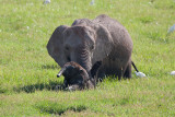 Adult Gives Baby Elephant a Boost