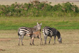 Baby Zebra Nurses