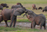 Young Elephants Play at Sunset