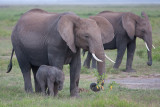 Almost Newborn Elephant
