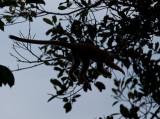 Flying Squirrel Monkey