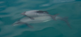 New Zealand Dolphins