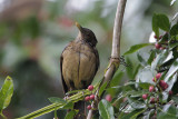 Clay-colored Thrush