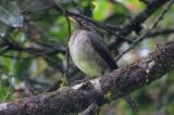 White-throated Thrush
