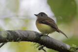 Tawny-breasted Flycatcher