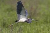 Tricolored Heron